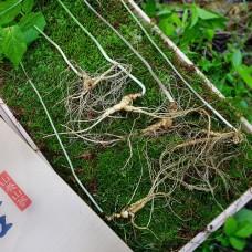 [산삼] 산양산삼 11년이상 5뿌리 금보자기포장