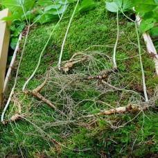 [산삼] 산양산삼 8~10년 5뿌리