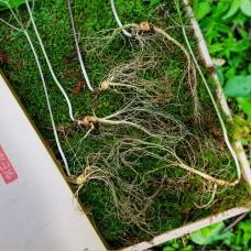 [산삼] 산양산삼 6~7년 5뿌리 황금보자기포장